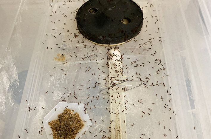 red imported fire ants in the lab at Texas A&M