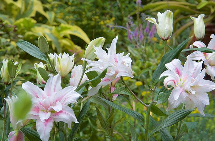 roselily belonica