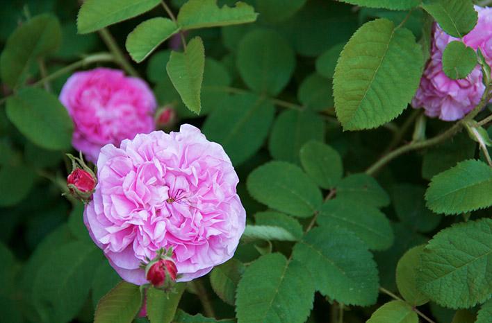 Rosa Petite de Hollande centifolia rose