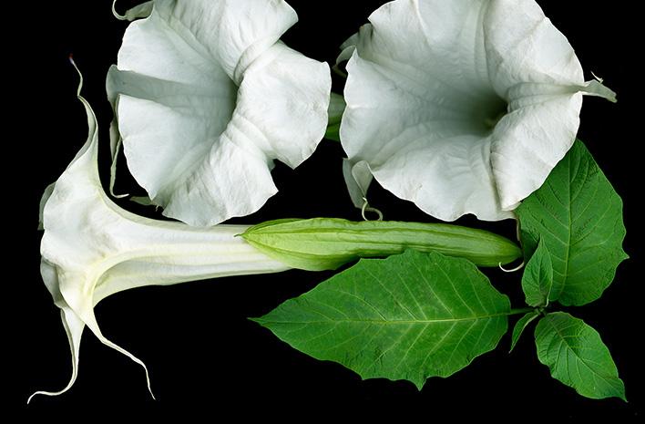 Brugmansia flowers