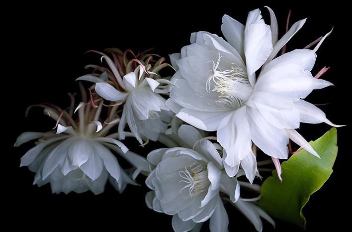 cereus epiphyllum oxepetalum