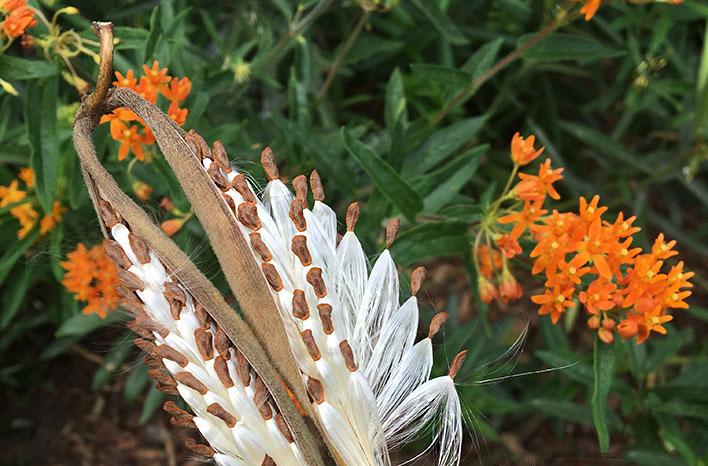 milkweed seeds and seedpod