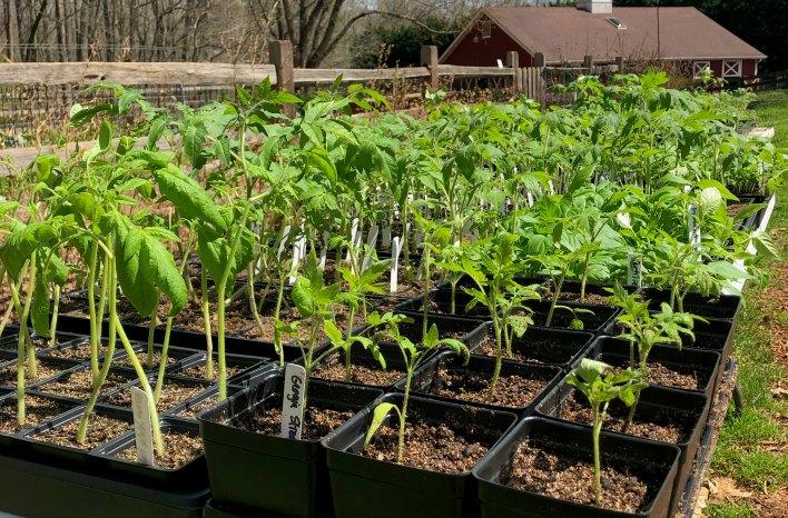 hardening off tomato seedlings