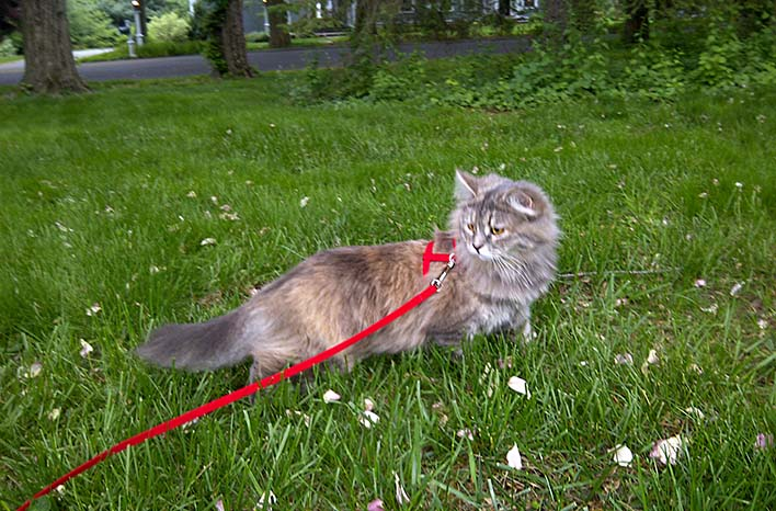 Gray cat on a red leash