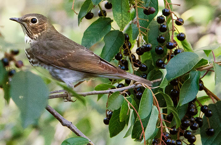 Bird in berry shrub