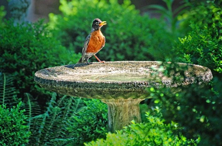 juvenile robin at bird bath