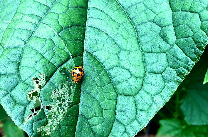 bean beetle eating leaf