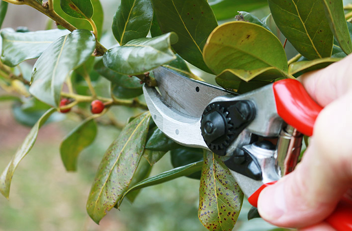 pruning holly