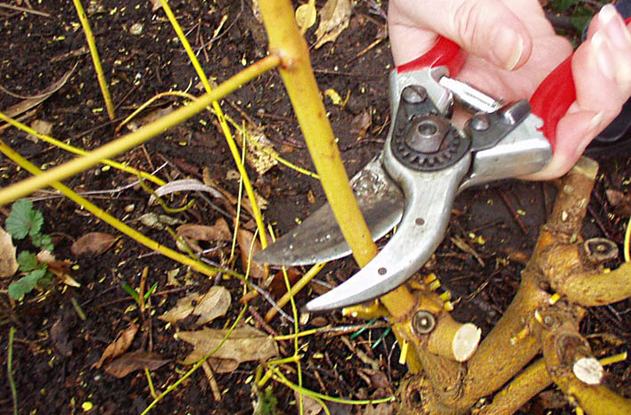 pruning ornamental dogwood