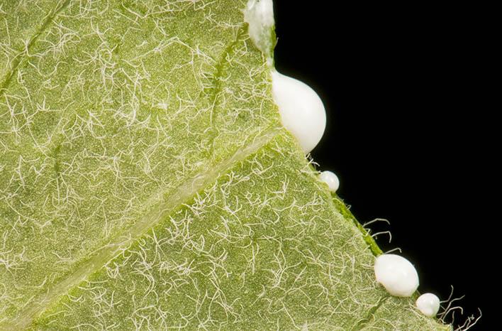 milkweed sap