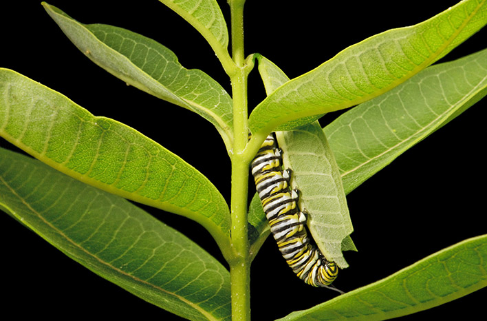 monarch caterpillar feeding on milkweed