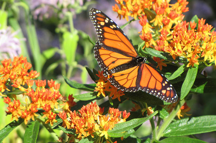 monarchs on butterfly weed