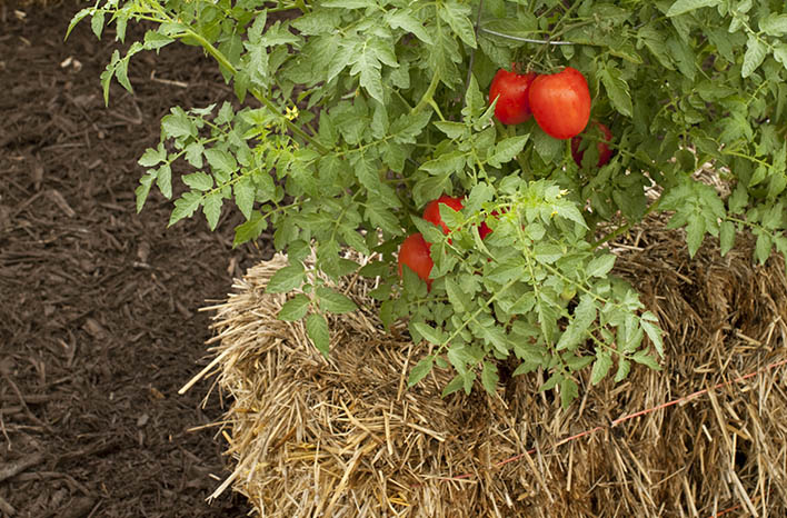 growing tomatoes in straw bales