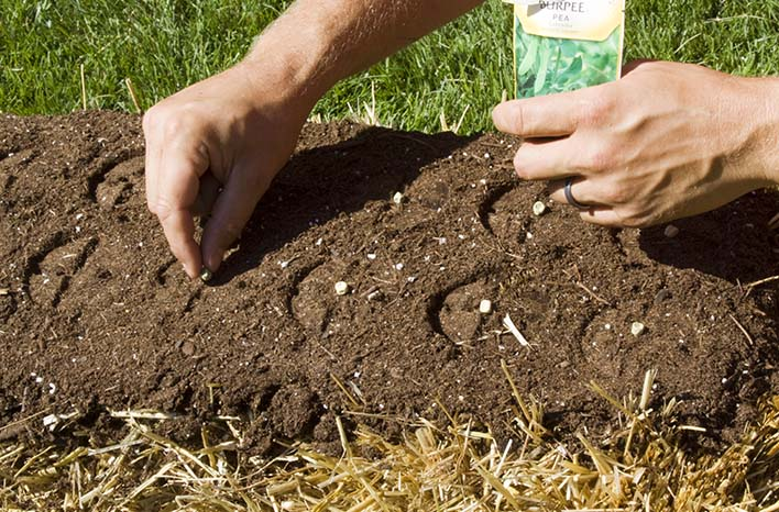 straw bale gardening sowing seeds