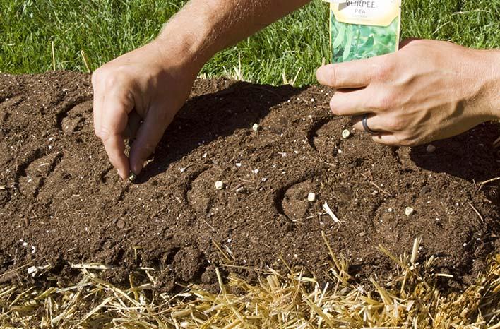 straw bale gardening sowing seeds