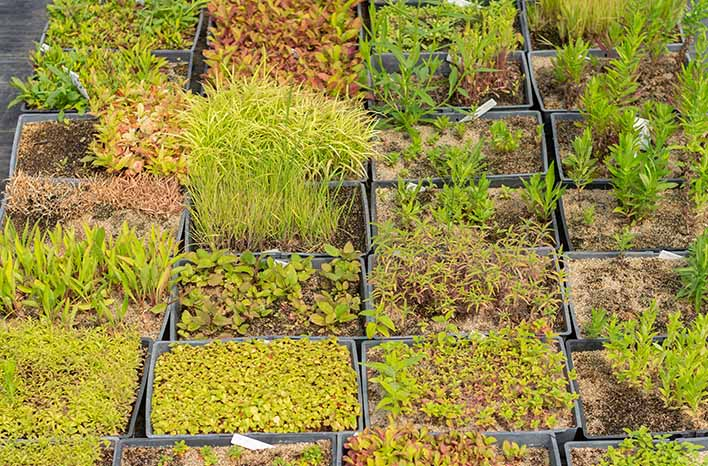 Native Plant Trust seedlings