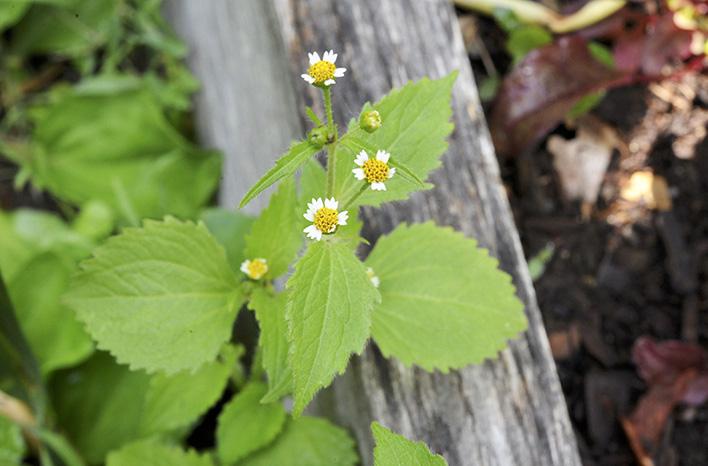 weed overwhelm - weed seeds