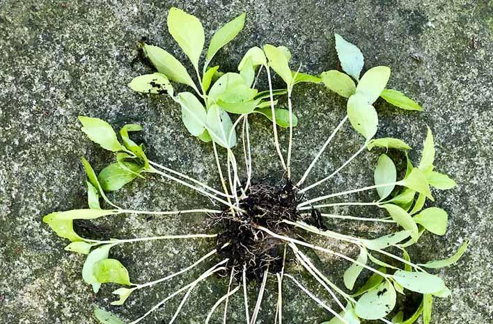 oriental bittersweet seedlings