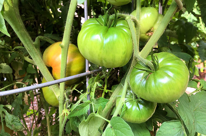 mid-season tomato care