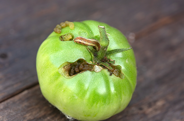Caterpillar eating tomato