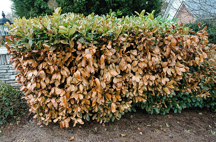 Hedge with browning leaves