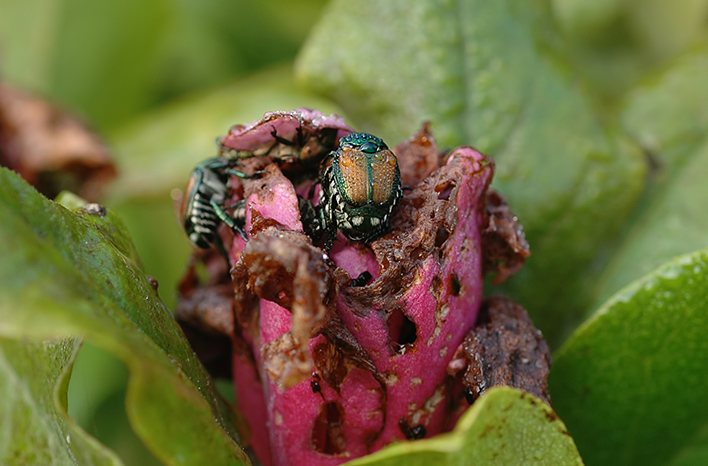 Japanese Beetles on a damaged plant illustrate one of the common garden challenges of 2020.