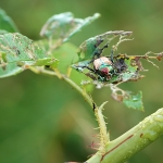 Japanese Beetle Prevention and Control