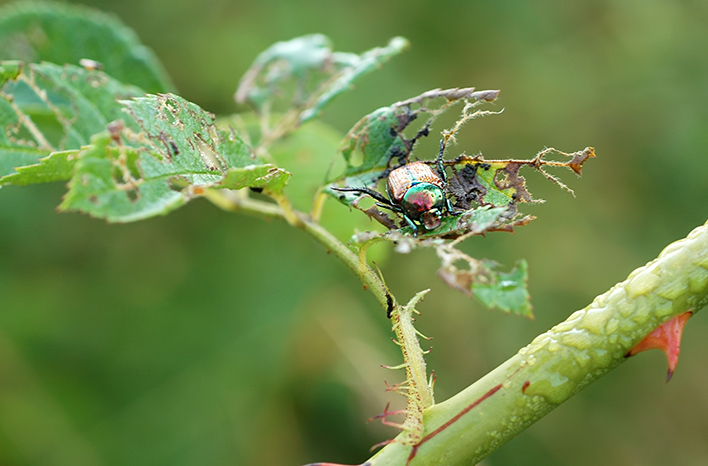 Japanese beetle on damaged leaf