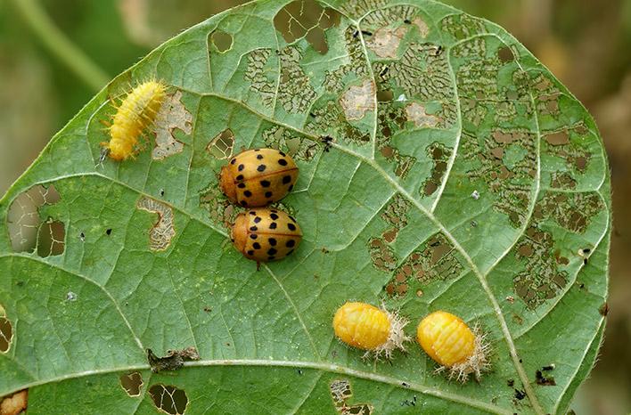 Bean beetles