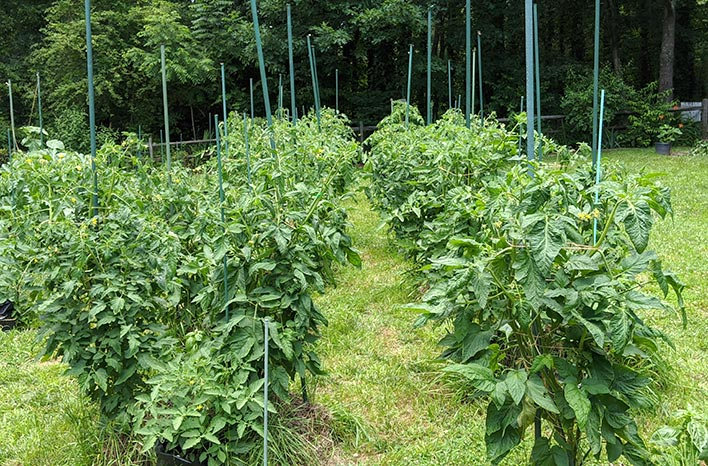 Tomato plants in a row