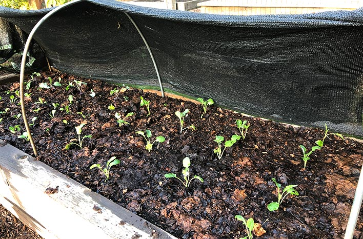 shade cloth on raised bed protects cool-season crops