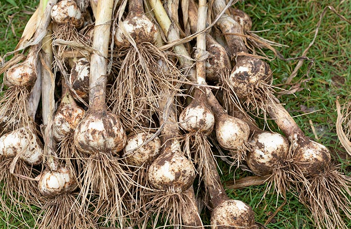 Harvested garlic with roots