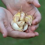 The Complete Guide to Growing Garlic (Everything You Need to Know)