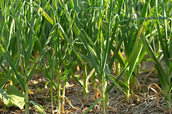 Garlic foliage