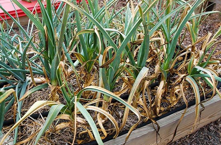 Garlic leaves turning brown