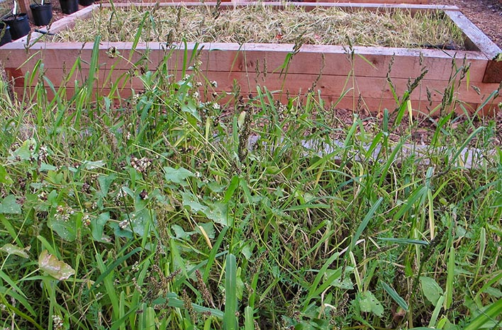 Cover crops in a raised bed