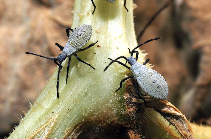 Mature squash bug nymph