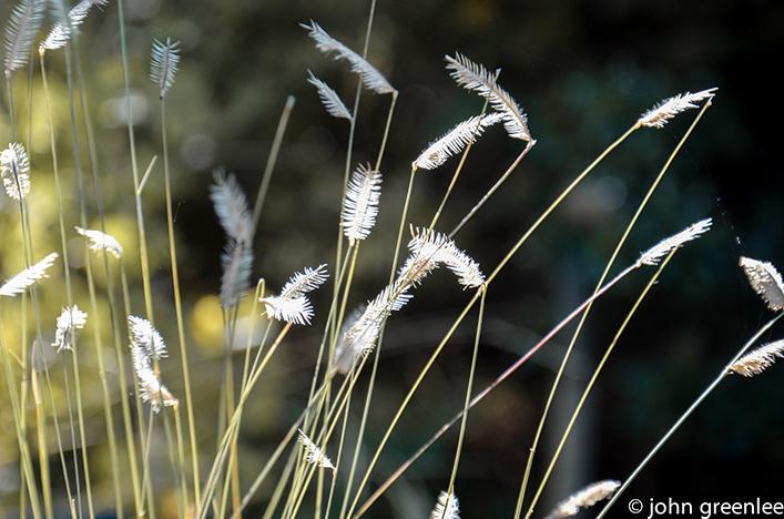 Ornamental grass seed heads
