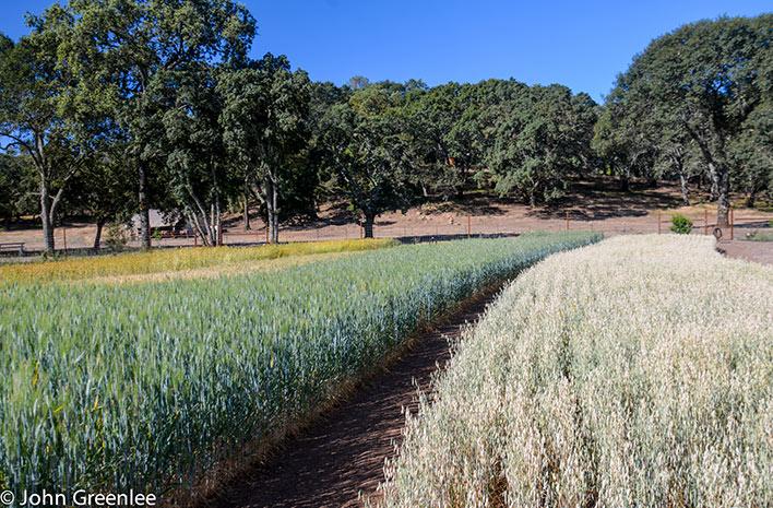 Edible grain garden