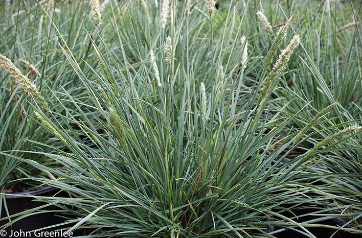 Clumping grass
