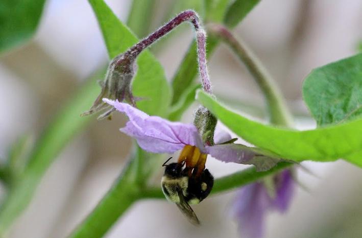 Bumblebee on Eggplant