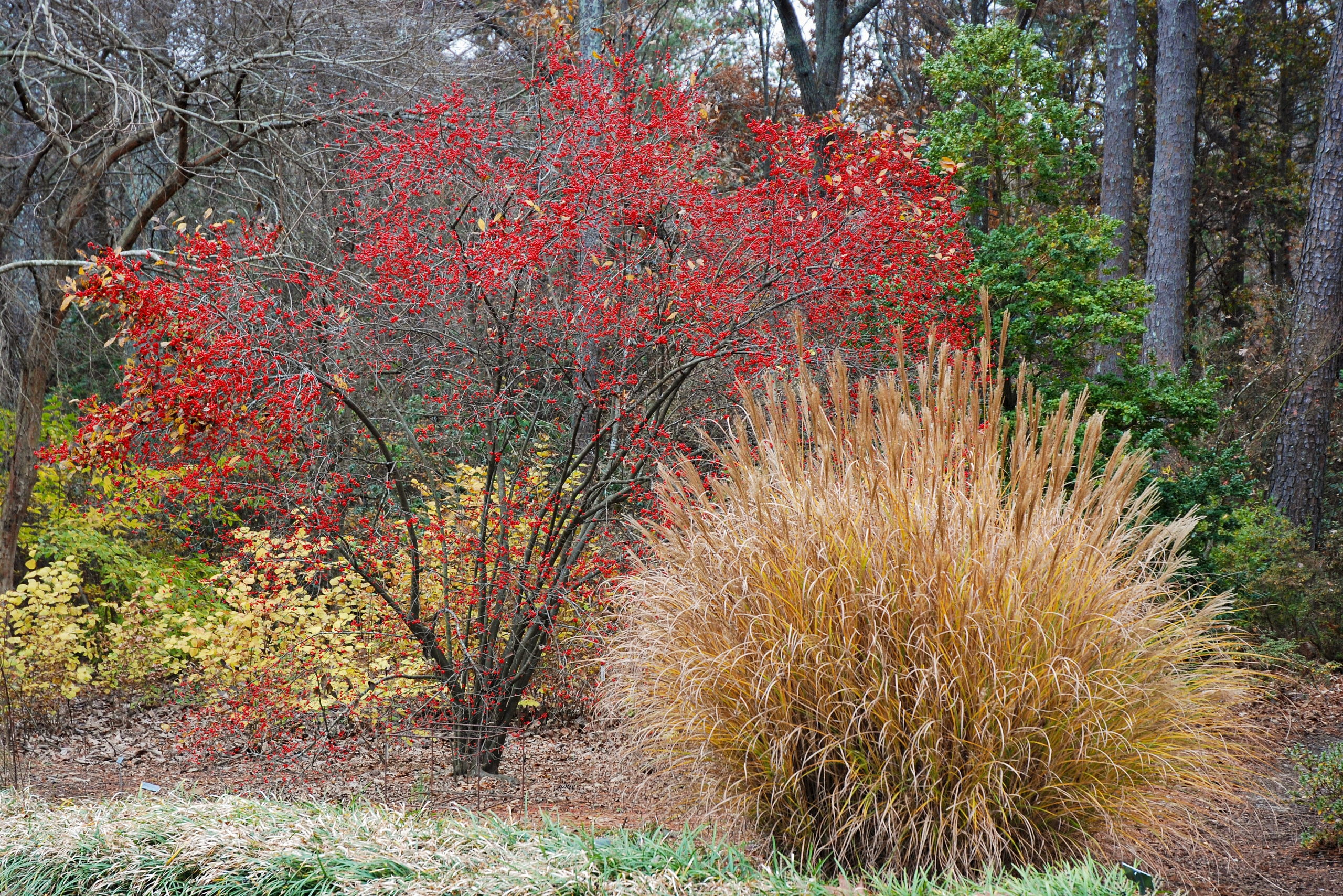 Ornamental Grass and tree with holly berries