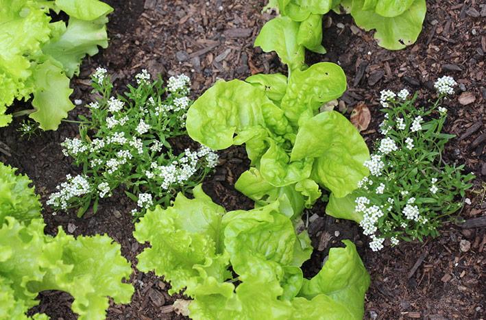 Alyssum as a companion plant with lettuce
