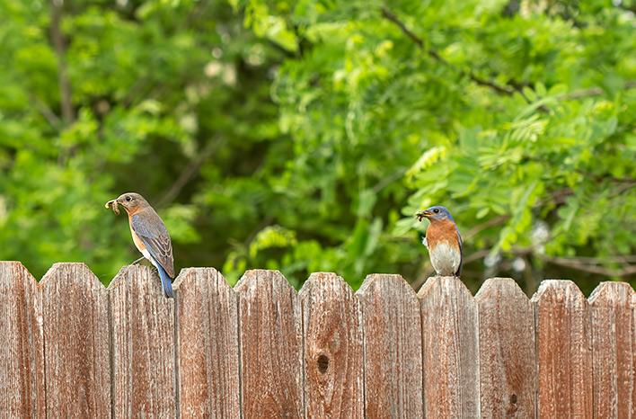 Bluebirds with caterpillars