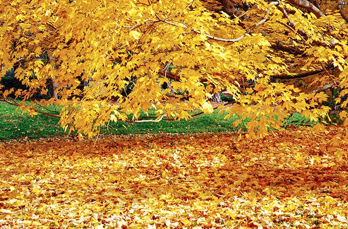 Yellow fallen leaves under a tree