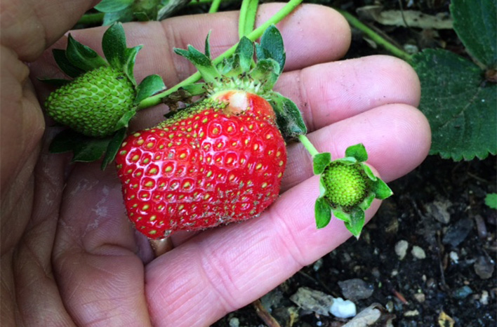 Hand holding a strawberry before harvesting