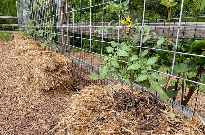 Tomatoes growing in straw bales