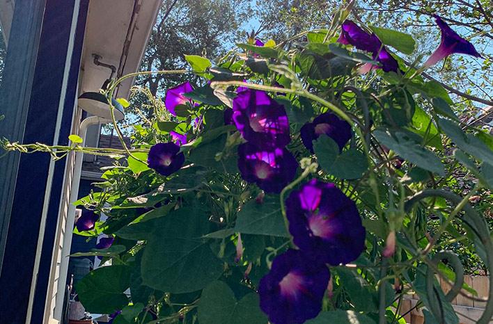 Purple morning glory flowers