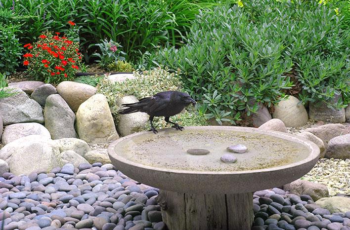 Blackbird sitting on a birdbath