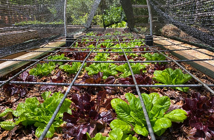 Lettuce under shade cloth
